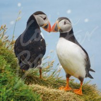 Atlantic Puffin Greetings Card (CB)