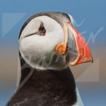 Atlantic Puffin 1 Greetings Card (CB)