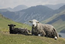 Herdwick sheep & Lamb, Buttermere, Lake District Postcard (H Std