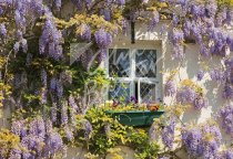 Cottage & Wisteria, Lake District Postcard (H Std CB)