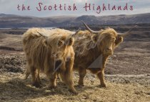 Highland Cows Postcard (H Std CB)