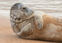 Grey Seal 2 Postcard (H Std CB)