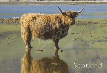 Highland Cow (reflection) Postcard (H Std CB)