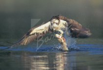 Osprey in Flight with Fish Postcard (H Std CB)