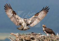 Ospreys on Nest Postcard (H Std CB)