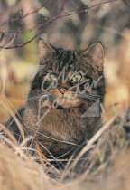 Scottish Wildcat Postcard (V Std CB)