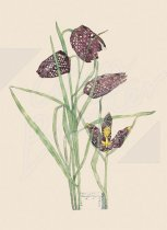 Fritillaria - (2 sheets 2 tags) Gift Wrap Pack