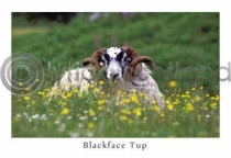 Blackface Tup, Wildflowers (HA6)