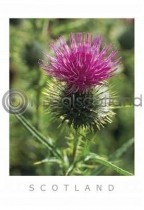 Scottish Thistle (VA6)