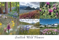 Scottish Wild Flowers Composite