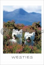 West Highland Terriers (VA6)